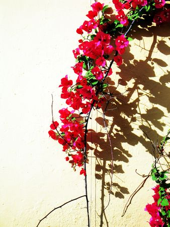 Red  Bougainvillea Stock Photo