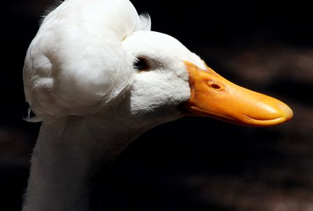 peking: Cotton Peking Duck Stock Photo