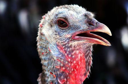 Thanksgiving Turkey Portrait