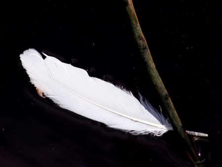 silhouettable: Piuma bianca in acqua  Archivio Fotografico