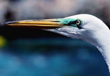 egret: Great Egret Portrait Stock Photo