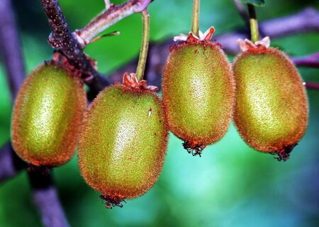 Kiwi fruits on the tree Stock Photo