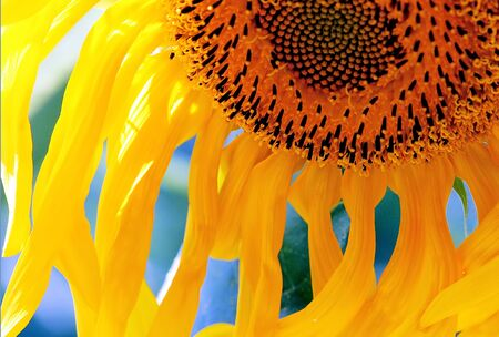 A tired sunflower Stock Photo - 236246