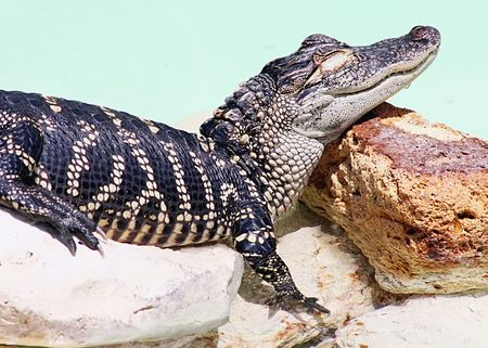 Sleeping American alligator Stock Photo