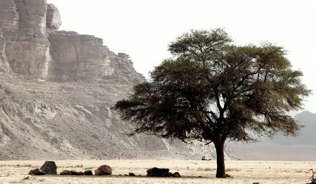 Lonely tree in the desert photo