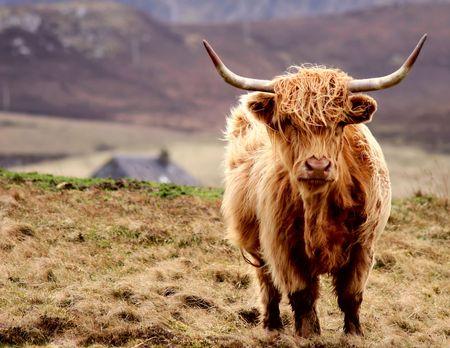 highlander: Scottish Highlander