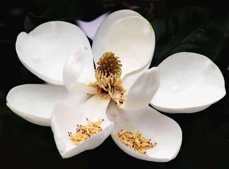 Cône de fruit de fleur méridionale darbre de magnolia - magnolia grandiflora Banque d'images