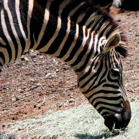 Zebra portrait - Burchells ZebraCommon Zebra - photo