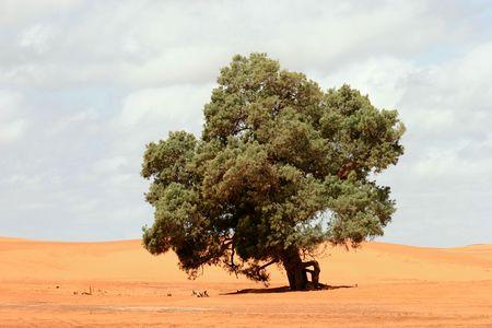 Maroc, les arbres sur les dunes de sable de l'Erg Chebbi, Merzouga  Banque d'images