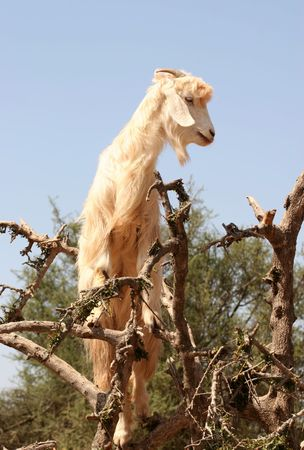 mountain goats: Moroccan goat on the tree Stock Photo