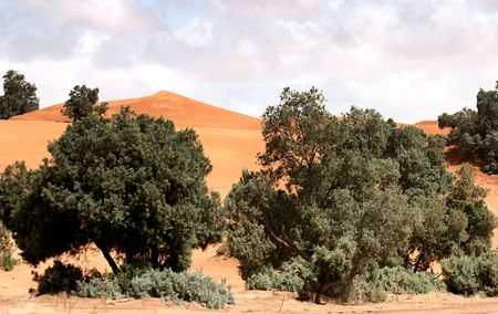 erg: Morocco, trees on the sand dunes of the Erg Chebbi, Merzouga Stock Photo