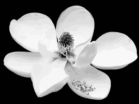 black and white cone: vector - magnolia flower Illustration