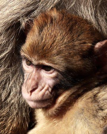 barbary ape: Baby of the Gibraltars Barbary Macaque (Macaca sylvanus)