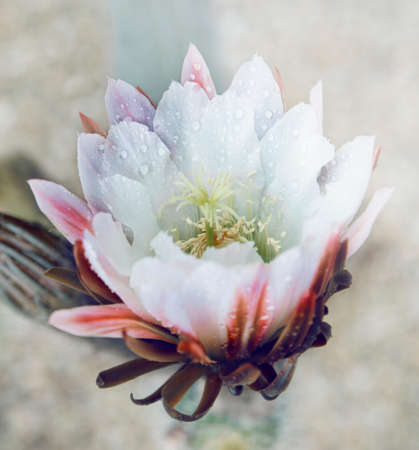 White Torch Cactus Flower photo