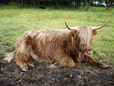 casual: Highland cattle