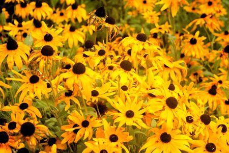 Field of yellow daisy flowed