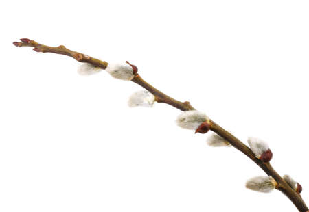 Easter twig of pussy willow isolated on white background