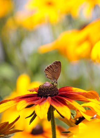yellow daisy flower and butterfly in garden
