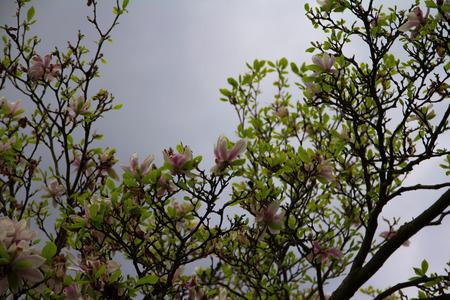Magnolia tree against grey stormy sky