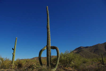 resolute: Resolute saguaro, Saguaro National Park, Arizona