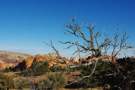 Dry tree in front of multicolored rocks, Capitol Reef National Park, Utah Stock Photo - 12733082