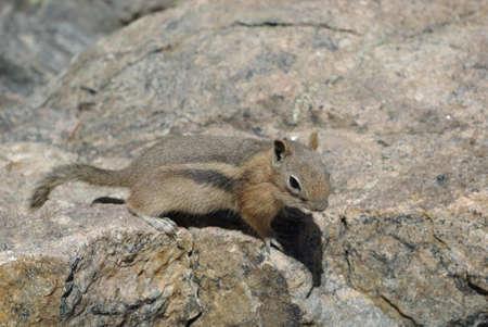 rocky mountains colorado: Squirrel, Rocky Mountains, Colorado Stock Photo
