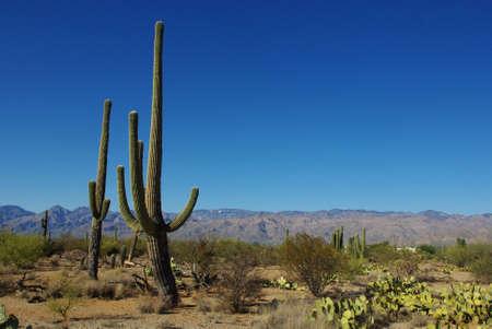 Saguaros, cactus and blue sky, Arizona Stock Photo