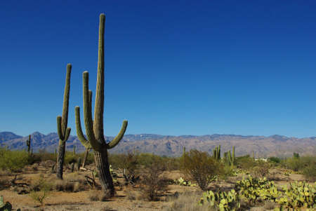 Saguaros, cactus and blue sky, Arizona Stock Photo