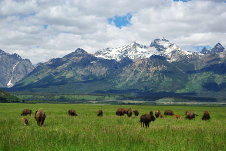 Buffalos with Grand Teton view, Wyoming
