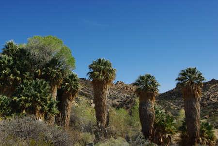 Palms, Joshua Tree National Park, California Stock Photo - 14128825
