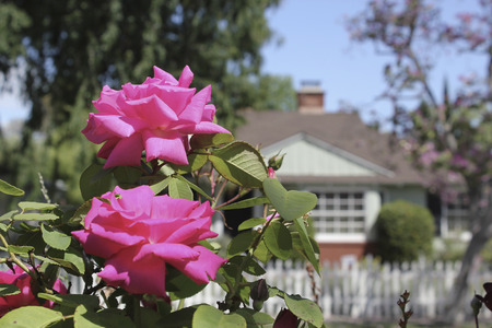 suburbs: Pink roses in the suburbs Stock Photo