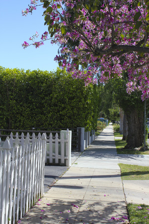 Pink Blossom on a street in california 版權商用圖片