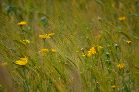 Yellow daisies and barley