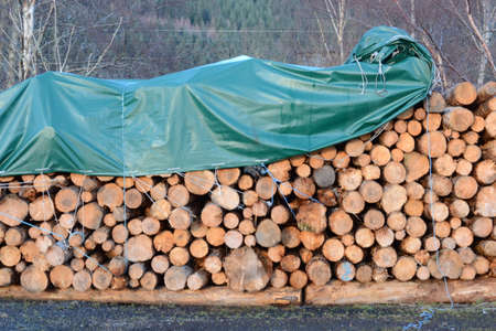 Felled pines drying with a tarpaulin cover