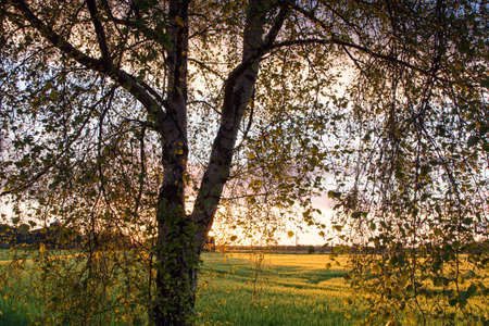 screened: Barley and sunset through a silver birch