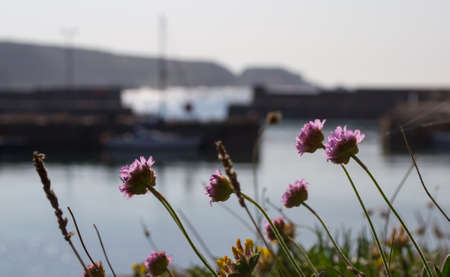 thrift: Pink thrift flowers by the sea