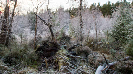 upturned: Frozen woodland with upturned trees
