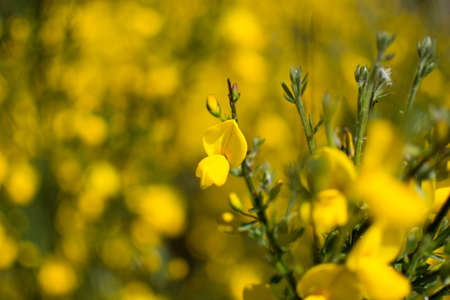 Vivid yellow broom in flower stock photo picture and royalty free stock photo vivid yellow broom in flower mightylinksfo