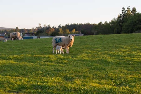 Lamb and mother sheep looking at ewe Stock Photo