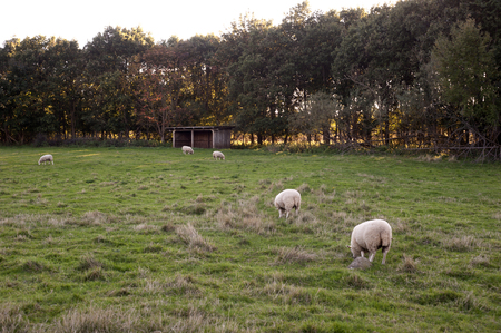 enyoing: sheeps enyoing eating grass all day every day