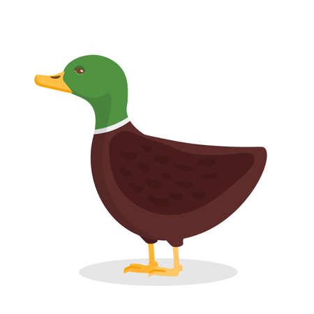 Wild duck, mallard flat vector illustration