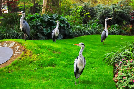 Four Heron look quizically at the photographer. London parks provide habitat for wild bird species.