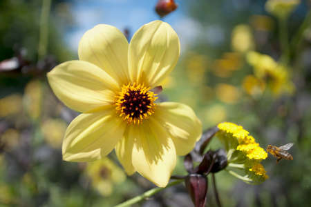 Cheerful yellow flower on a sunny day with bee approaching. Closeup, missing petal, soft background. Disadvantaged yet beautiful, succesful, popular, attractive.