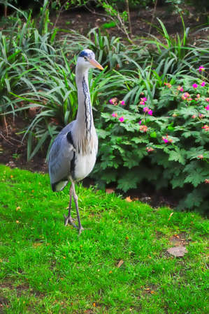 A Heron walks on the grass in a local park. Copy space.