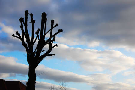 Sillhouetted pruned tree set against soft fluffy clouds in an autumn sunset. Copy space.