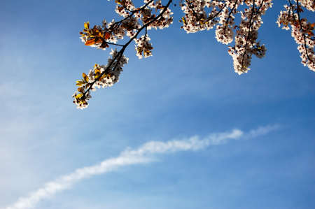 Spring blossom illuminated against a blue sky and white cloud streak, peaceful moment. Copy space.