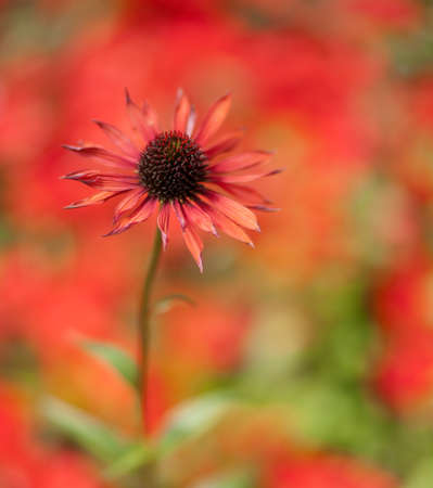 Vibrant  red single echinacea against a soft red warm background. Passionate feel. Copy space. Soft focus background.