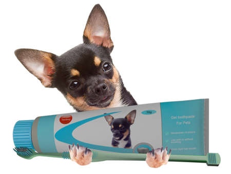 Cute Chihuahua dog have toothpaste and toothbrush between the legs