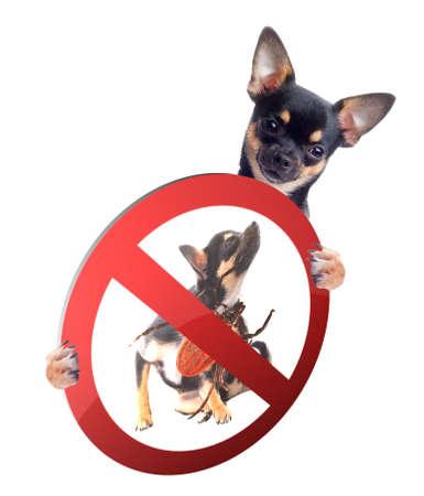 dog tick: Cute Chihuahua dog be aware of ticks Stock Photo