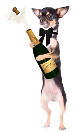 Cute chihuahua dog will make party time